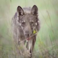 Morte tra i lupi – resoconto semestrale