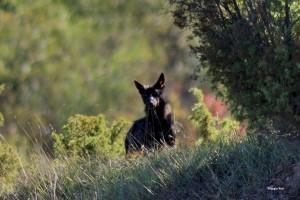 Canis lupus italicus esemplare nero fotografato da Giorgio Nini nel 2012 Modenese